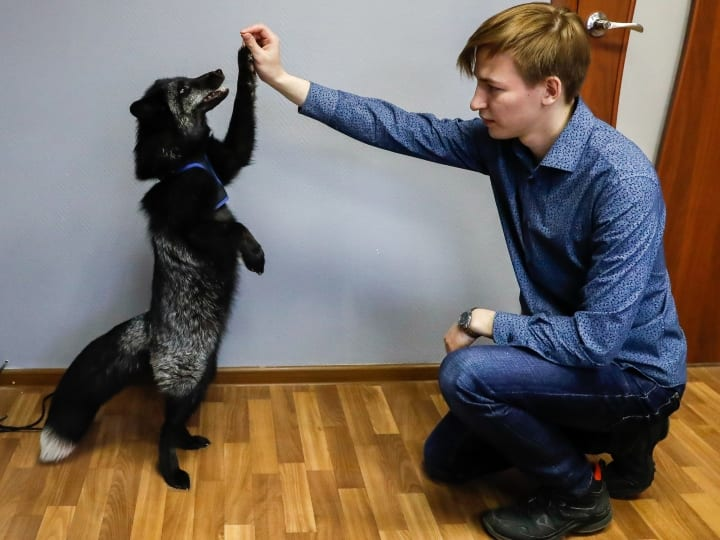 high five fox, domesticated fox, silver fox