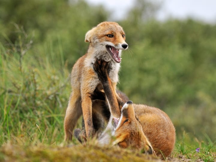 foxes wrestling, outdoor foxes, wild animals