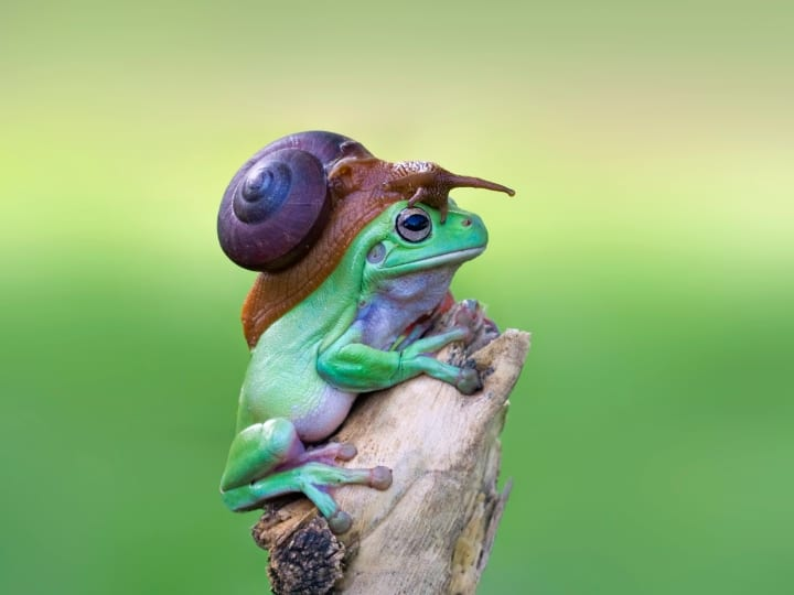 A snail relaxes on a frog's head in September, 2015, Sukabumi, Indonesia. A SNAIL hitches a ride on a patient frogs back in hilarious photos snapped in Indonesia. The photos show a frog sitting completely still on a twig while a the cheeky hitchhiker slides to the top of its head. In one photo the snail appears to look down for approval before continuing on is journey. Unbothered by the snails presence, the frog smiles for the camera. Graphic designer Kurit Afsheen, 34, snapped these photos while visiting relatives in Sukabumi. My guess is that the snail wanted to go higher up for a better view. When I show people these photos it makes them happy and they laugh - it was a funny moment.""