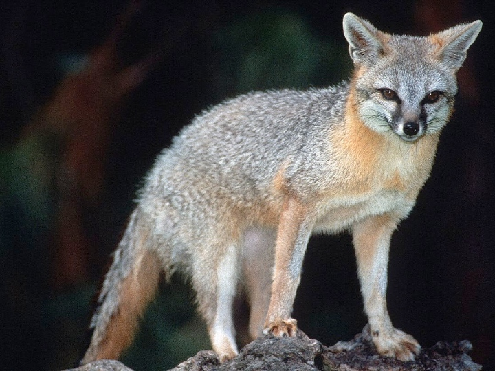 Grey fox, hunter, North America, Central America