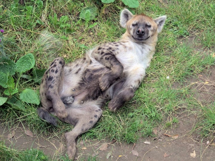 Spotted hyena, laying down, cute animal