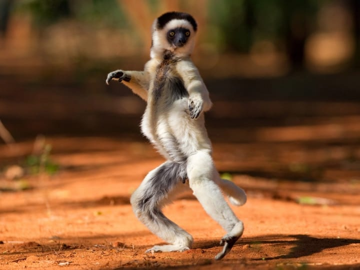 A dancing Sifikas lemur in Madagascar, Africa. Moonwalk, The Robot, big-fish-little-fish: these little chaps have all the moves. These dancing Sifakas Lemurs put to shame the furry tribe of King Julien XIII who featured in Disney funny film Madagascar. Far from dancing merely for entertainment the real life members of the lemur family use this technique to travel from their homes in the Ifotaka forest of Madagascar. Each morning they must troop across clearings in the fastest way possible to reach their foraging grounds in the deep jungle. This is achieved through springing onto their hind legs and raising their arm to balance. British wildlife photographers Matt Burrard-Lucas, 21 and brother Will, 27, from London, had to wait a year to gain access to the Safika territory due to political instability in the region before traveling to Madagascar in August.