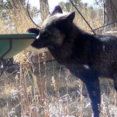 sniffing around, silver fox, in backyard