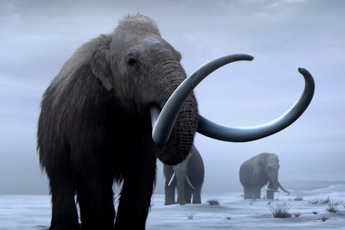 The extinct woolly mammoth is becoming endangered
