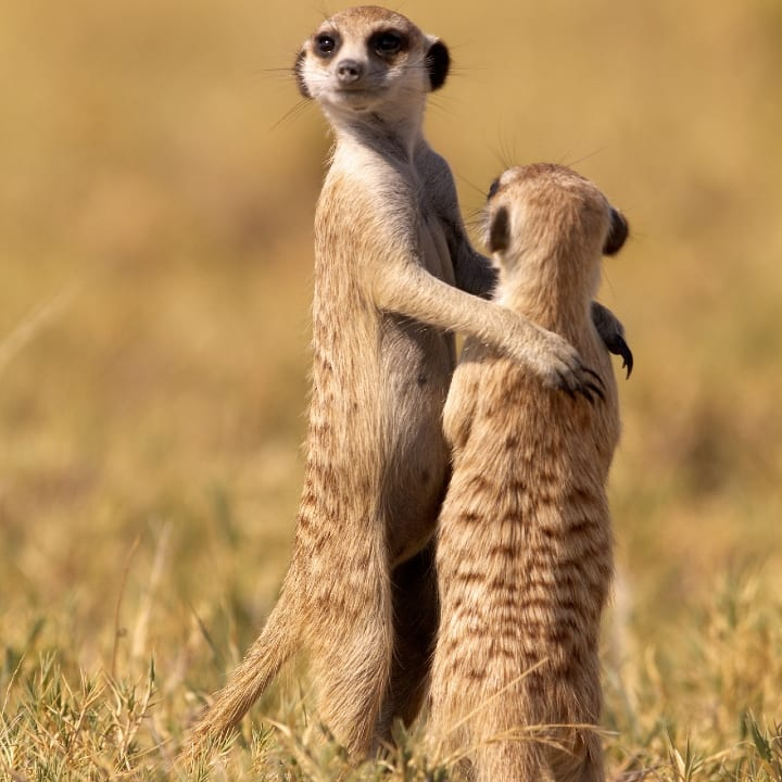 "meerkat puts his arm around another in Makgadikadi Salt Pan, Botswana. Cub Simba was shown his future kingdom by dad Mufasa in Disney's The Lion King - and here's the same famous scene reenacted by wild MEERKATS. On the plains of Africa - just like in the hit animated movie - an adult meerkat seemed to be saying ""One day, all this will be yours"" and placed an arm around a juvenile's shoulders as the pair scanned the horizon together. The sidesplitting copy-kat moment was caught on camera by caterer Thomas Retterath, 48, from, Nurburg, Germany. The hobby photographer spotted the comedy duo while on safari at Makgadikadi Salt Pan in Botswana, where he watched a troop of around seven Meerkats patrolling their territory . Thomas was inspired to take the trip after watching the popular Meerkat Manor TV series and said: ""It reminded me of drunk men trying to stabilise each other on their way home, but others in my group said it was just like The Lion King."""