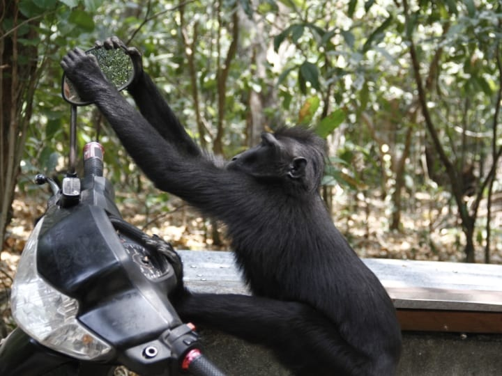A Sulawesi black monkey (Macaca nigra) making funny faces at the the rearview mirror of a motorcycle parked in Tangkoko Nature Reserve, Bitung. He then tried block it out by sticking his hands behind the rearview mirror. Upset that his reflection didn't disappear, the male monkeys then bit the mirrors and other motor parts.