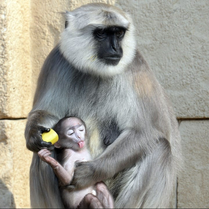 Gray langur Sariska and her baby enjoy a banana on March 6, 2014 at the zoo in Hanover, central Germany. The baby monkey was born on February 15, 2014 at the zoo.
