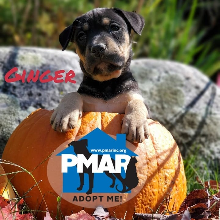 on a pumpking, puppy, adopt