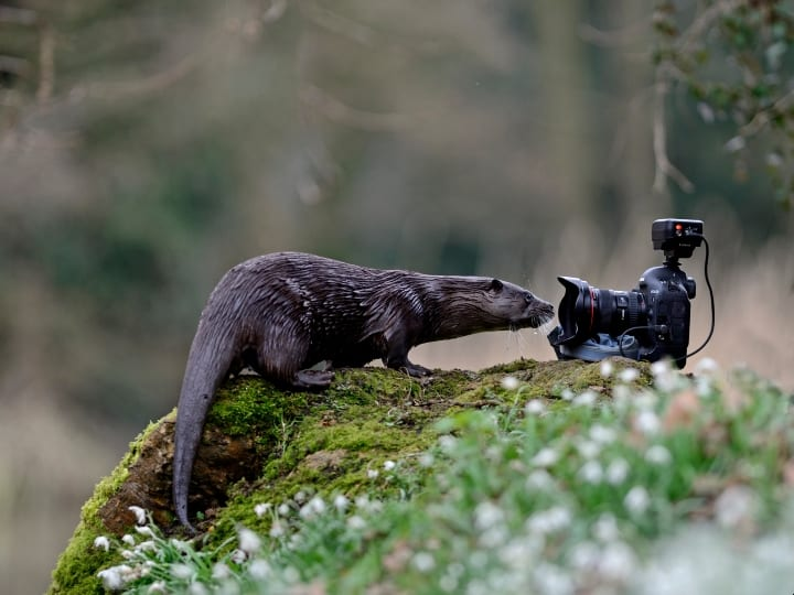 Wild river Otter, Lutra lutra, inspecting camera, River Thet, Norfolk.