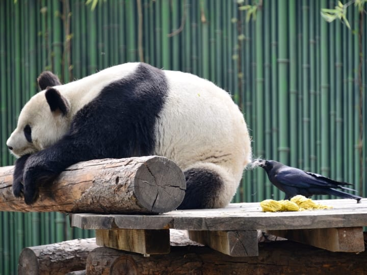 A Crow plucks fur off panda's back for its nest in a zoo on April 09, 2018 in Beijing, China.