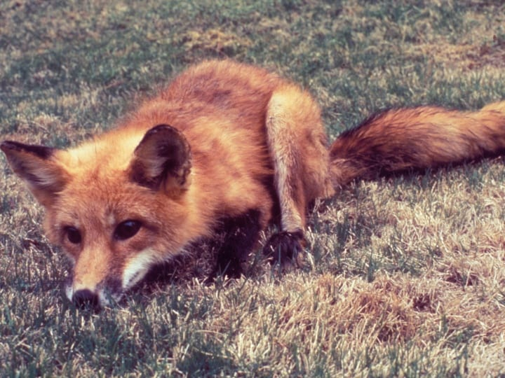 Fox, rabid fox, possible have rabies