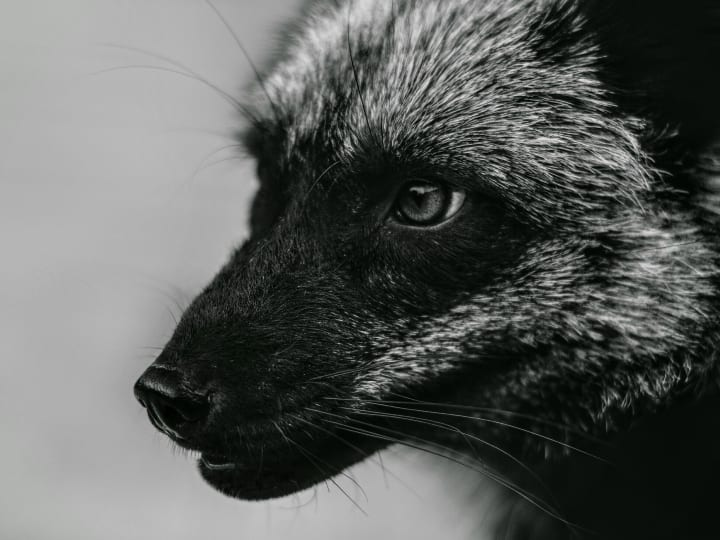 silver fox, close up, strange animal