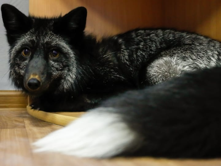 silver fox indoors, fox, rare animal