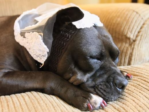 dog wearing veil, on the couch, dog