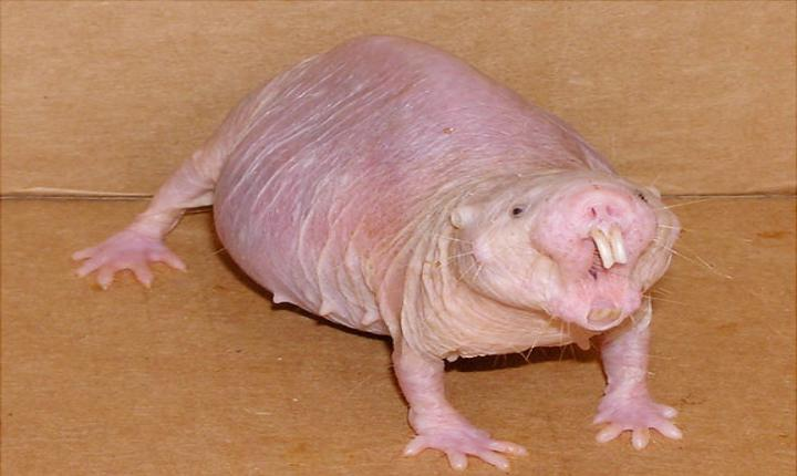 The scientific reason you'll want to be a naked mole rat at the end of this article