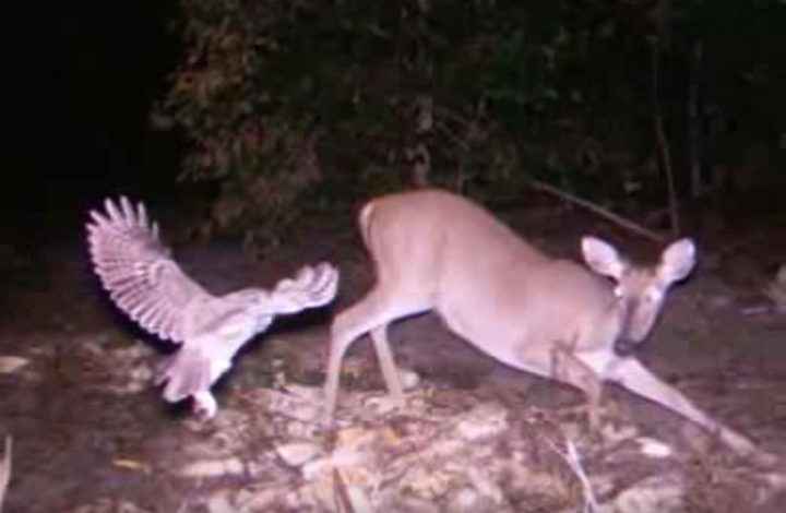 owl attacking a deer. big mistake