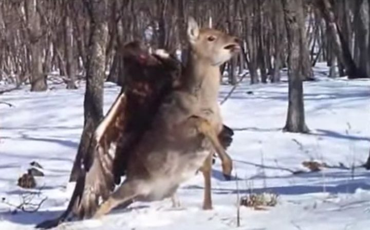 a golden eagle attacks a deer