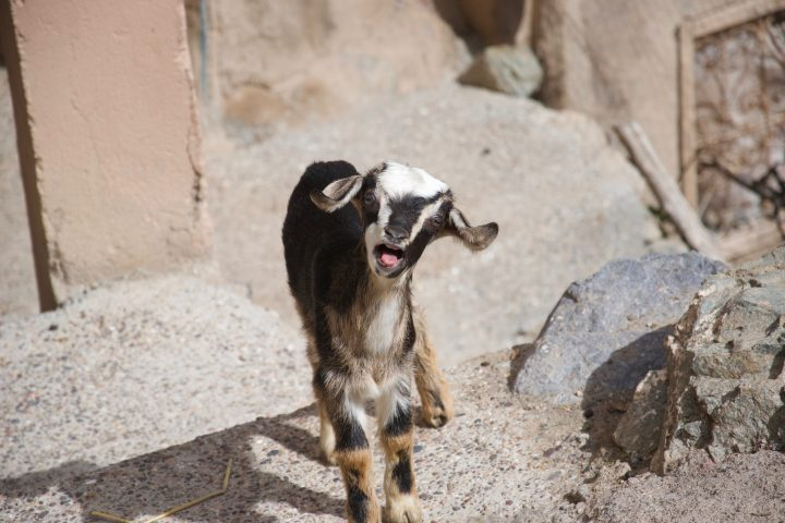 A small goat looks straight at the camera and bleats, its mouth open and tongue out