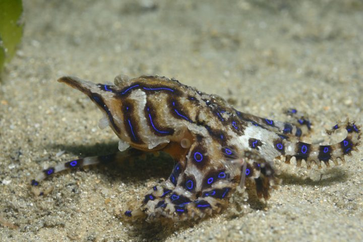 Blue-Lined Octopus, Hapalochlaena fasciata, endemic, Sydney Harbour, Sydney, New South Wales, Australia, South Pacific Ocean