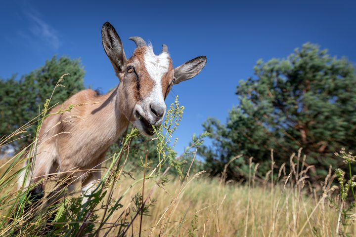 Goat eats the plants in the meadow