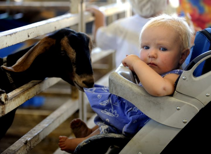 One of the dairy goats appears to enjoy the dress of Rebecca Halbleib, 10-months, of Mead on August 1, 2008.The Boulder County Fair is open everyday until August 9th at the Boulder County Fairgrounds in Longmont. The fair parade is 10 a.m. on August 2, along Main Street in Longmont.(Photo by Cliff Grassmick/Digital First Media/Boulder Daily Camera via Getty Images)