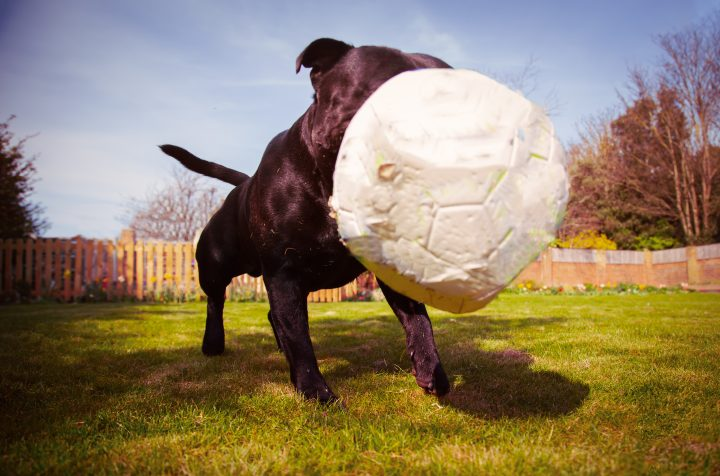 A Staffordshire bull terrier dog playing with a soccer ball that is a bit deflated after chewing. Taken from a low angle as the ball bounces in-front of the dogs face