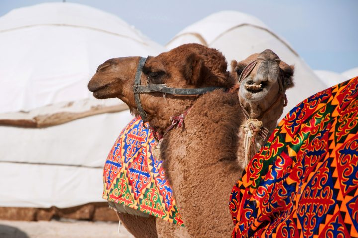 Dromedary (Camelus dromedarius) in traditional colorful capes, Nomadic lifestyle in Central Asia, Uzbekistan
