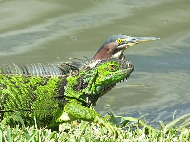 Green Heron and Green Iguana
