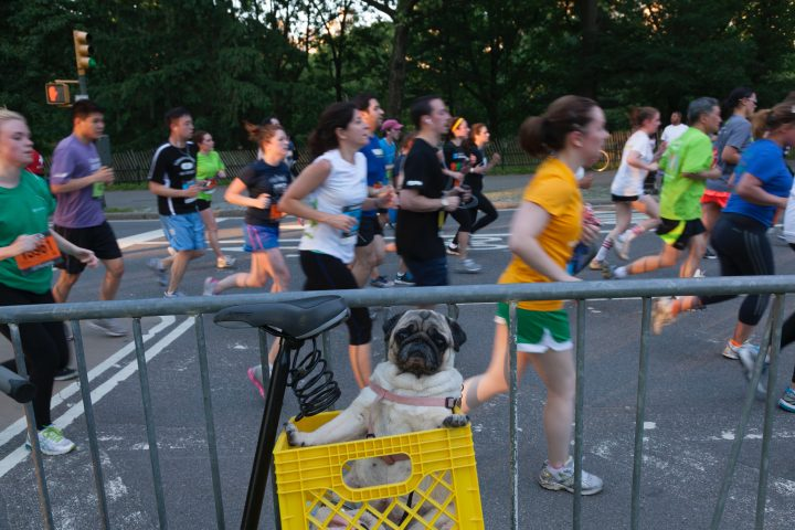 Pug poses for image during a running marathon race in the Manhattan Borough of New York, New York, USA.