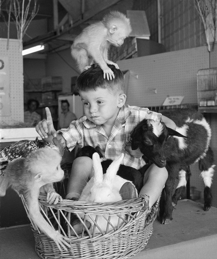 (Original Caption) 8/15/1959-Brooklyn, NY-ORIGINAL CAPTION READS: Really getting acquatinted with Mother Nature, David Stuck, 4, of Merrick, Long Island looks like a character out of Mother Goose as he is swarmed under by a pack of playful young animals. The youngster was visiting the International Animal Nursery at Coney Island, where children are encouraged to play with creatures from barnyard and jungle. In addition to the baby chimps, David is joined by a rabbit and a goat, and has a black puppy in his lap.