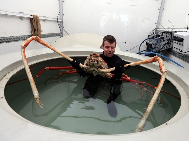 Japanese spider crab bizarre animals