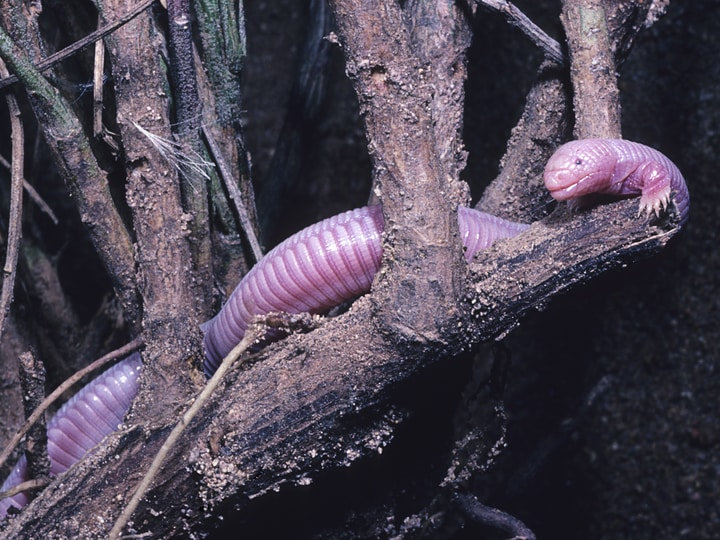 Mexican mole lizard bizarre animals