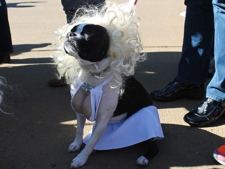 Marilyn Monroe dog costume Halloween