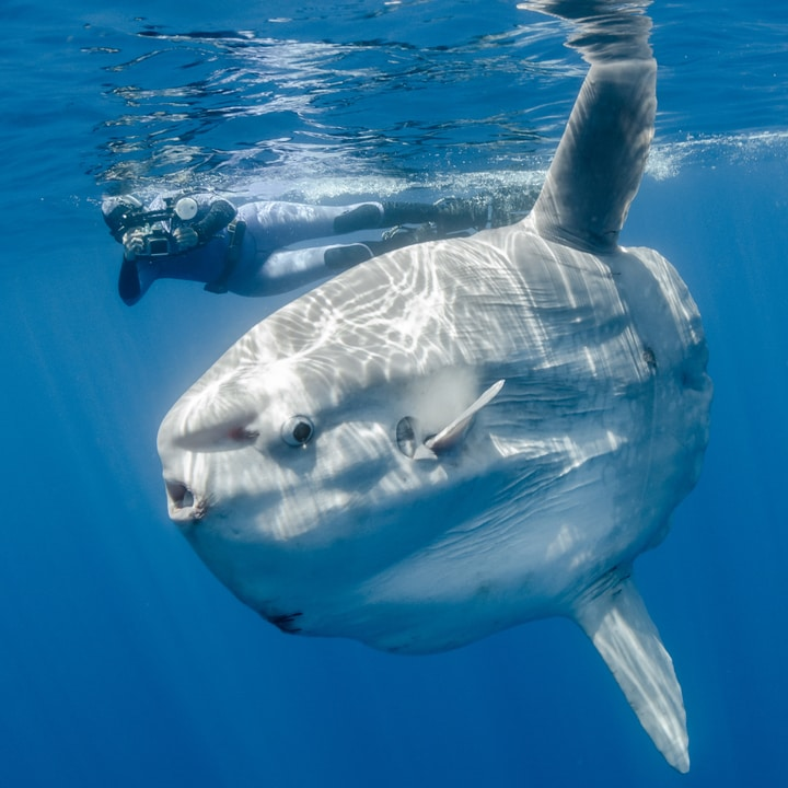 Ocean sunfish bizarre animals