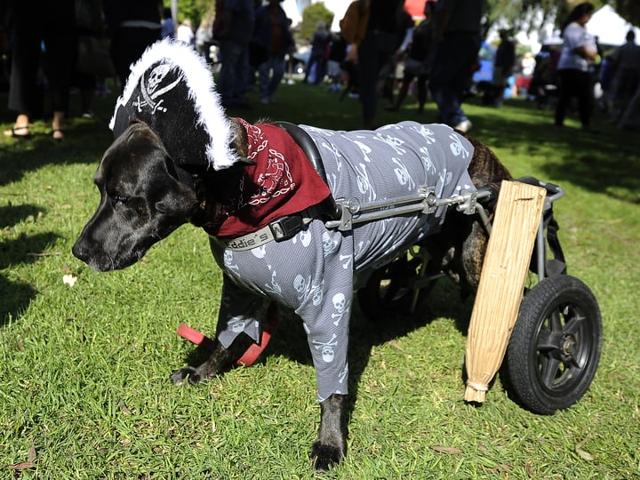 Pirate dog costume halloween parade