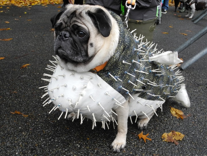Pufferfish Halloween dog costume