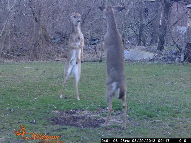 deer standing on their hooves facing each other