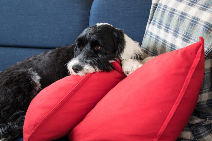 Black and white, Portuguese Water Dog, laying down on a blue couch with red pillows