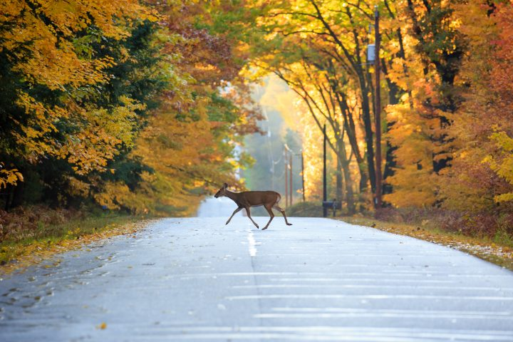 White-tailed deer crossing a road in Wausau, Wisconsin