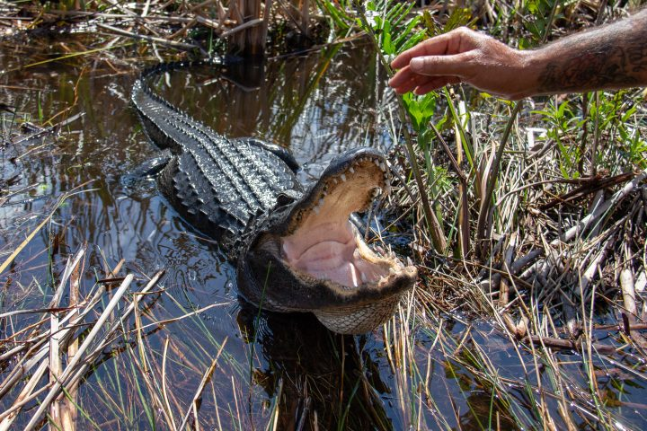 Miami, FL USA - March 18, 2015: American alligators in the Everglades National Park have become accustomed to accepting food from tour guides.