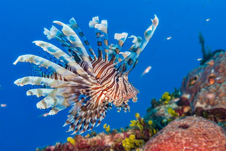 Common Lionfish {Pterois volitans} is an invasive species in the Caribbean. Bahamas, December