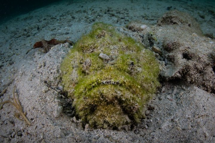 A well-camouflaged stonefish, Synanceia varricosa, lays under the sand in Raja Ampat, Indonesia. This area is known for its amazing marine biodiversity and is a popular destination for scuba diving.