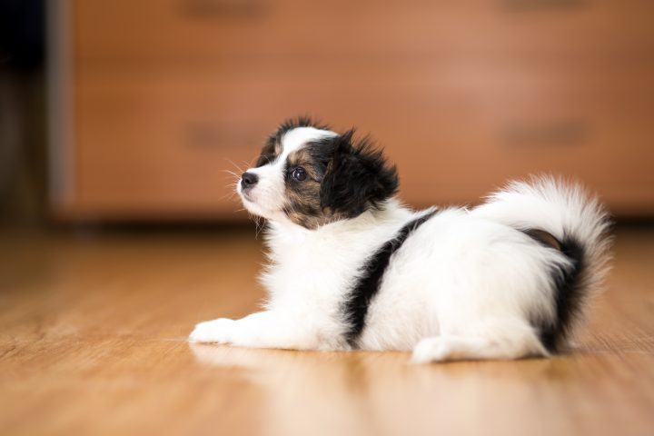 Charming Papillon puppy lying on the floor
