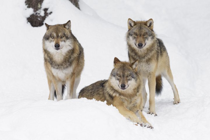 Pack of Gray wolves in winter, Germany, Europe