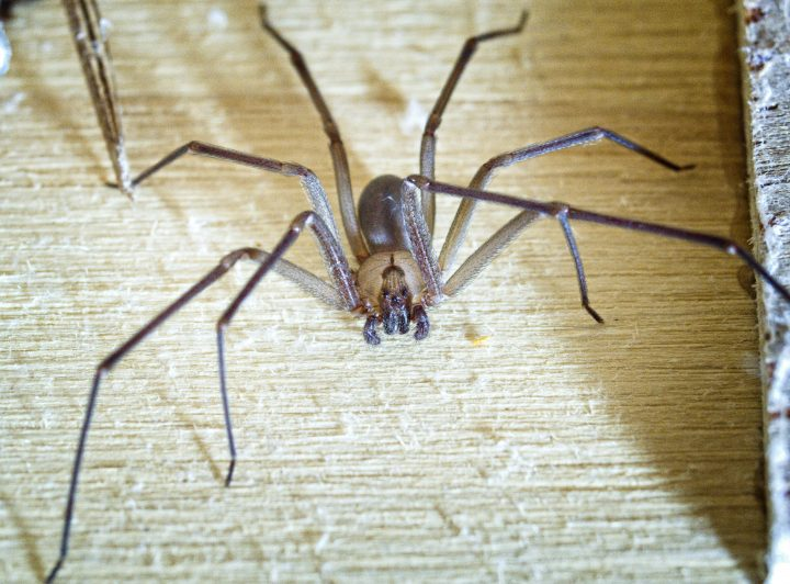 Brown Recluse spider wood in a shop.