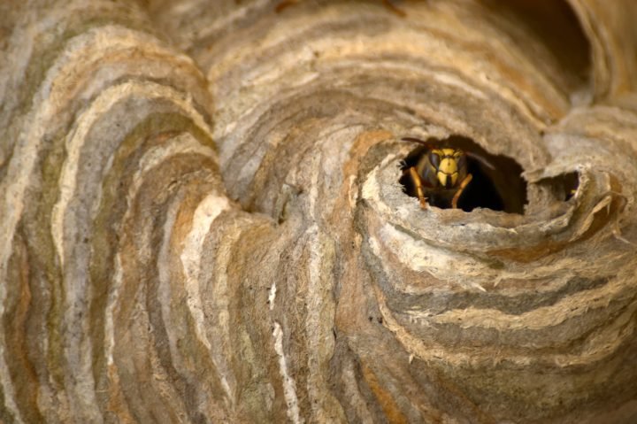 Wasp's Nest with guard at entrance.