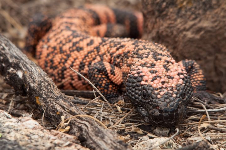 A Gila Monster (Heloderma suspectum) give the camera an impatient look. Saguaro National Park, Arizona
