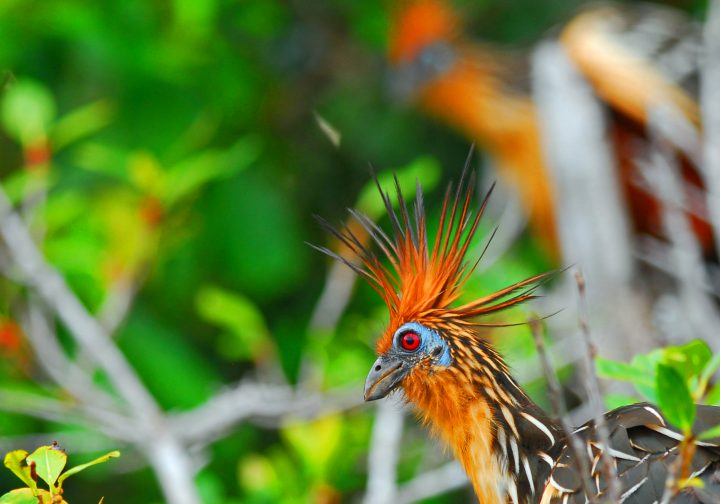 The Hoatzin or Stinkbird, in the Ecuadorian Amazon.