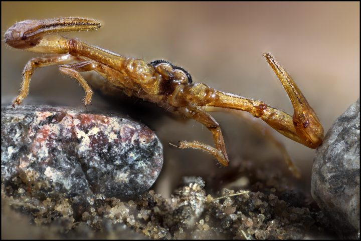 Head to head portrait of a scorpion creeping towards teh camera over small stones