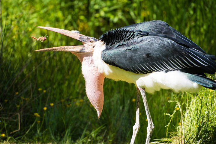 Marabou Stork eating at Raptor Center on Vancouver Island
